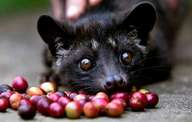 os melhores cafés do mundo - kopi luwak