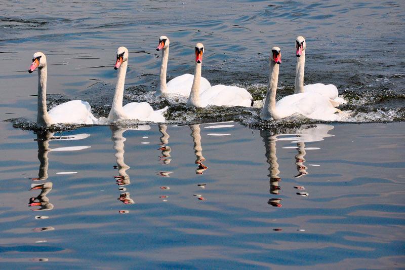 curiosidades sobre o reino unido - cisnes