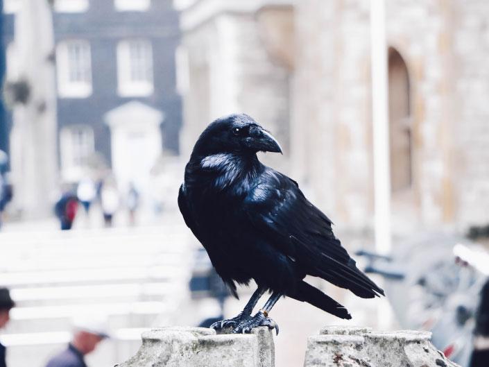 curiosidades sobre o reino unido - corvo